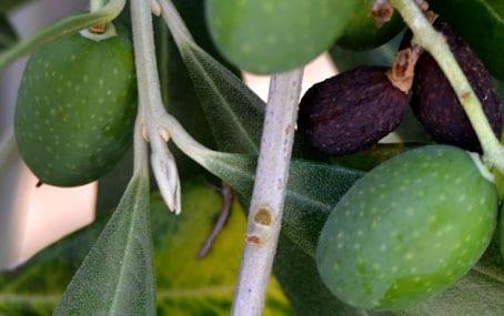La Selvotta Olives