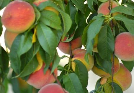 Bascianella gets Peachy
